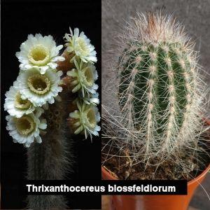 Trixanthocereus blossfeldiorum (Espostoa blossfeldiorum)