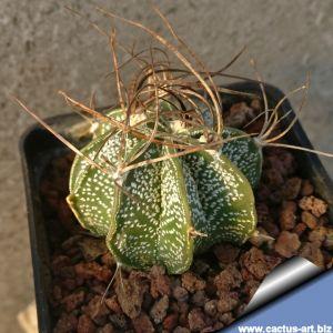 Astrophytum capricorne v. minor PP473 MEX 57, km 77, Fraustro, Coahuila, Mexico
