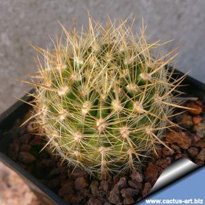 Eriosyce chilensis v. albiflora (Neoporteria)