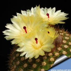 Notocactus sucineus