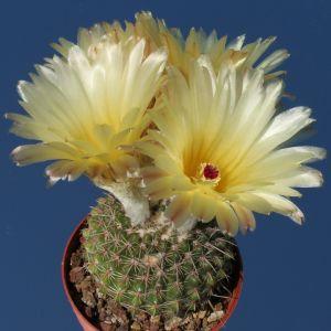 Notocactus winkleri
