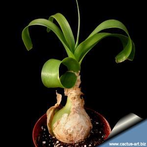 Ornithogalum caudatum (Pregnant Onion) Sourh Africa