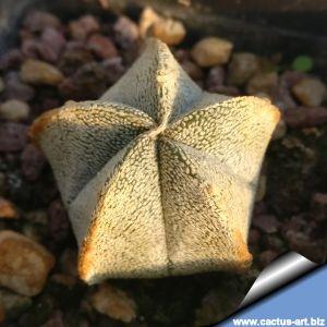 Astrophytum coahuilense PP478 Lerdo, Durango, Mexico