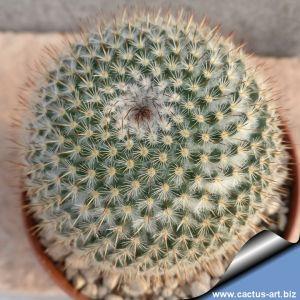 Mammillaria conspicua