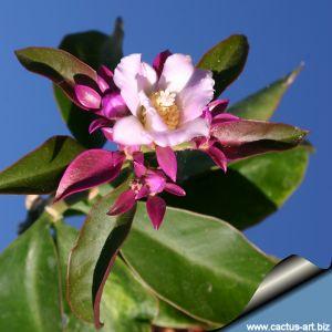 Pereskia grandiflora var. violacea