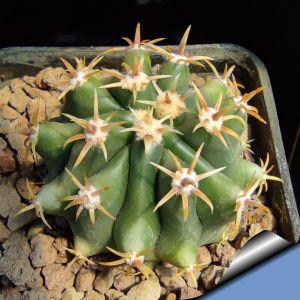 Ferocactus horridus v. brevispinus albispinum (pale spines form)
