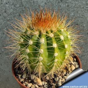 Melocactus perezassoi Cuba