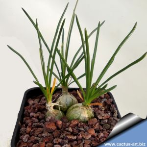 Ornithogalum juncifolium Sourh Africa
