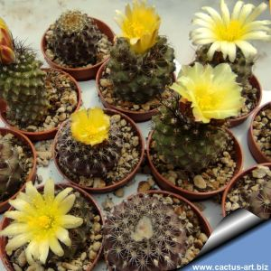 Copiapoa esmeraldana hybrids