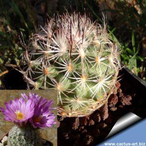 Gymnocactus smithii LS085