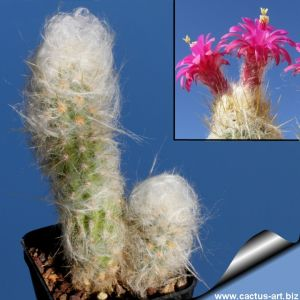 Oreocereus doelzianus v. sericatus (Morawetzia sericata) L204 East of Cordillera Huaytapallana, Ayacucho, La Mar, Peru,