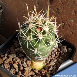 Ancistrocactus pinkavanus Cuatro Ciénegas Basin, Central Coahuila State, North Mexico.