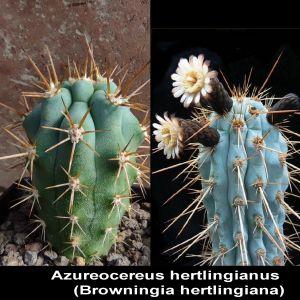 Azureocereus hertlingianus (Browningia hertlingiana) JN1583 Rio Mantaro, 2258m, Peru