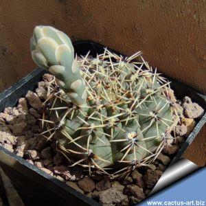 Gymnocalycium stellatum v. obductum MT07-211 Cordoba, Argentina.
