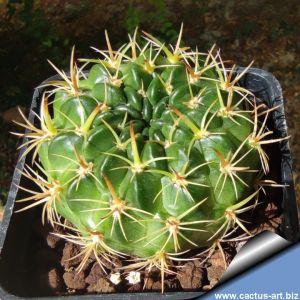 Lobivia prestoana WR265 Padilla, Cochabamba, Bolivia, 2300m (Lobivia cinnabarina v. grandiflora)
