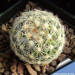 Escobaria vivipara v. alversonii SB1800 near 29 Palms, California, USA