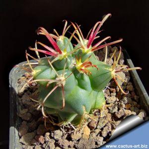 Glandulicactus uncinatus PP829 Tula, Municipio Tula, Tamaulipas, Mexico