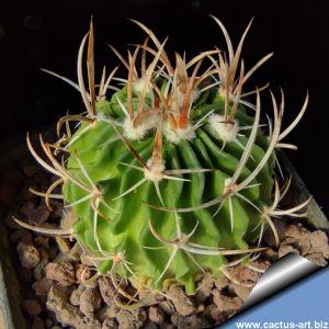 Echinofossulocactus zacatecasensis SB286 Doctor Arroyo, Nuevo Leon, Mexico