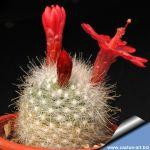 Mammillaria senilis (Mamillopsis senilis)  Balio de Alimito, Durango, Mexico.