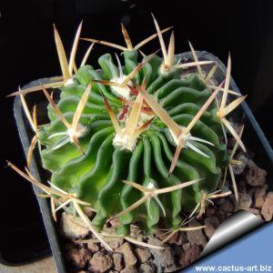 Echinofossulocactus crispatus SB438 near San Luis Potosi, San Luis Potosi, Mexico