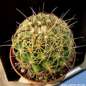 Coryphantha indensis (Coryphantha pseudonickelsiae)