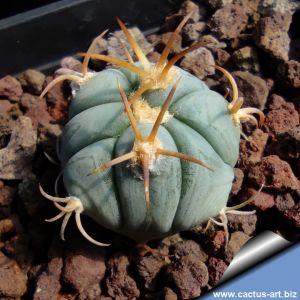 Echinocactus horizonthalonius North of Presidio, Pecos Co., Texas, USA