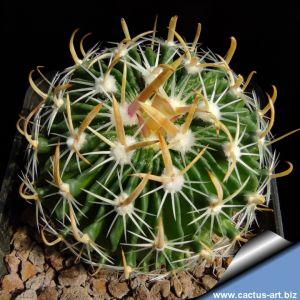 Echinofossulocactus zacatecasensis PC55 Zacatecas, Zacatecas, Mexico