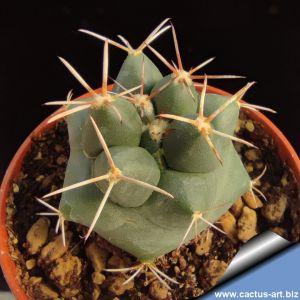 Coryphantha scheeri SB260 Eddy County, New Mexico, USA