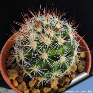 Escobaria vivipara Colorado, USA