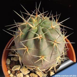 Acanthocalycium eythianum ( violaceum or klimpelianum old form ) ex UHLIG