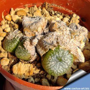 Conophytum ectypum v. brownii SB785 Ratelpoort, South Africa