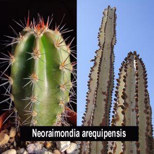 Neoraimondia arequipensis GC1338,05