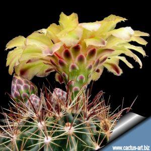 Hamatocactus setispinus v. hamatus San Antonio, Texas, USA