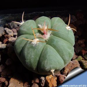 Echinocactus horizonthalonius JABO32 Tula, Tamaulipas, Mexico