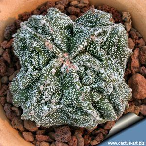 "Astrophytum myriostigma cv. FUKURYU (Type B) ""quadricostatum"""