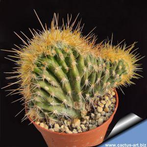 Cephalocereus palmeri (Pilosocereus palmeri) forma cristata