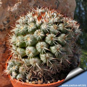 Mammillaria schumanni v. globosa