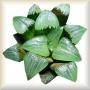 Haworthia, Aloe & Co.