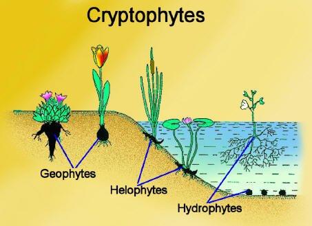Hydrophyte