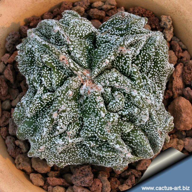 astrophtum myriostigma cv  fukuryu