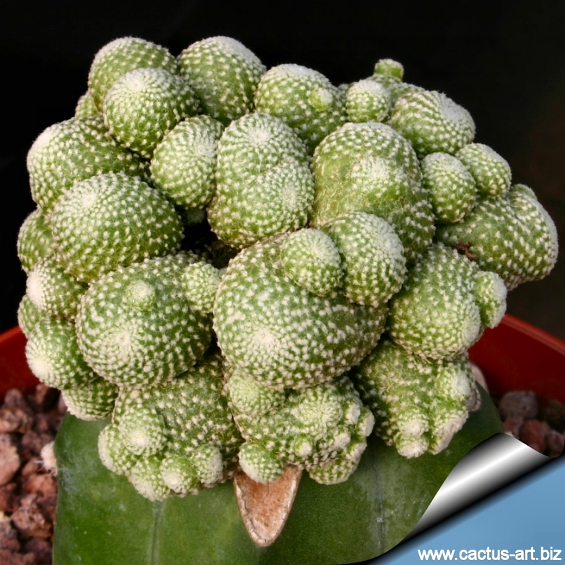 seeds 15 blossfeldia liliputana miniature succulent cactus
