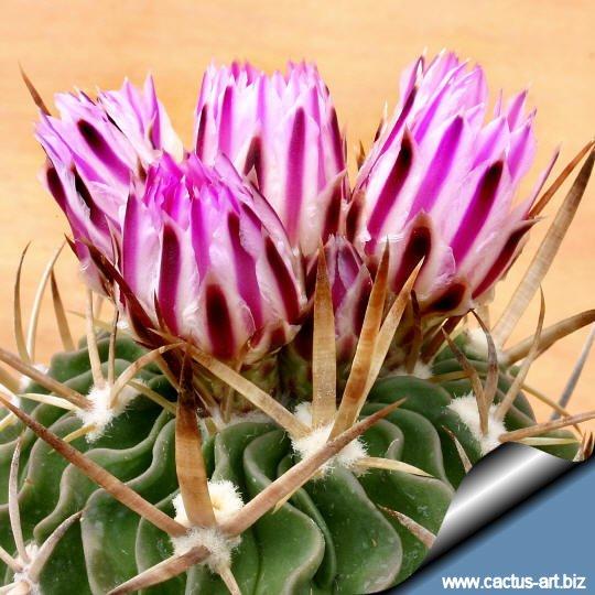 Echinofossulocactus Lamellosus sb.111 Metzquititlan