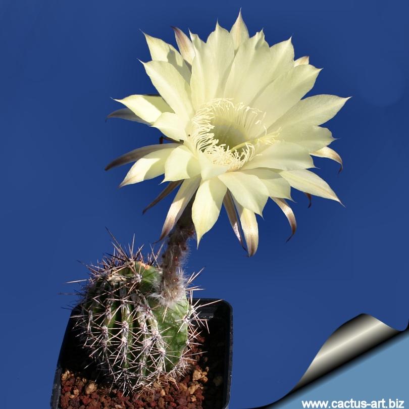 echinopsis hybrid cv