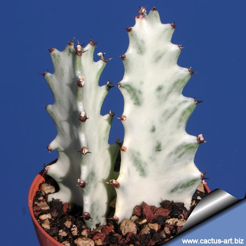 euphorbia lactea cv  white ghost u0026quot