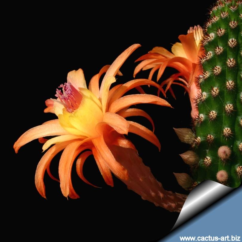Hildewintera,hybrid,/'AMETHYST/',LARGE,PLANT,Cleistocactus,Cactus,Echinopsis