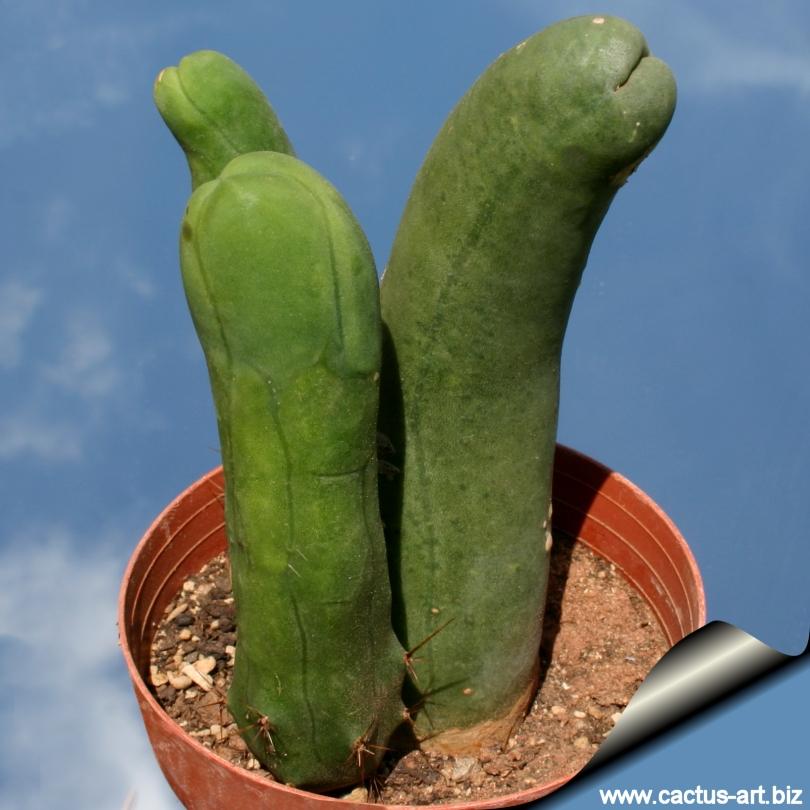 pénisz kaktusz
