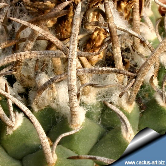 5 plants Turbinicarpus schmiedickeanus ssp klinkerianus seedling  1cm
